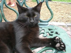 polydactyl cat with long nails
