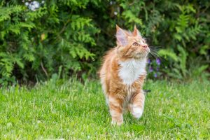 outdoor cat on his way to a litter box