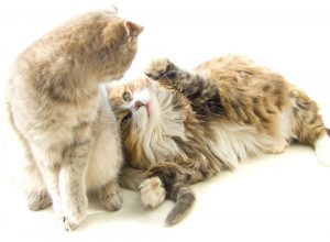 clawed and declawed cat playing together