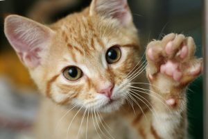 do declawed cats knead