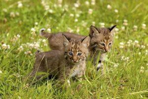 difference between bobcat kitten and regular kitten