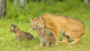 difference between bobcat and house cat