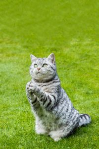 why do cats make a praying or begging motion with paws
