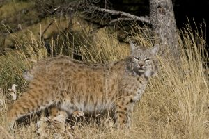 house cat and bobcats difference